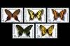 СССР 1987. 5799-5803. Бабочки, внесённые в Красную книгу СССР.